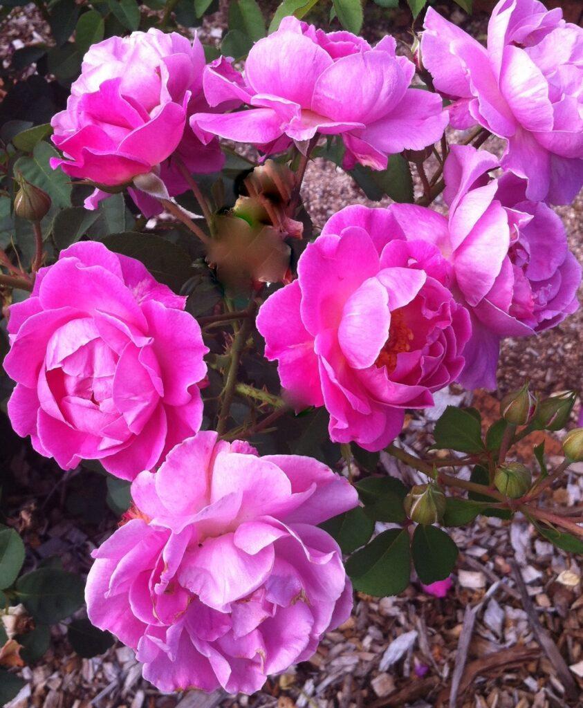 Rosa GRAdkpk First Lady_flower