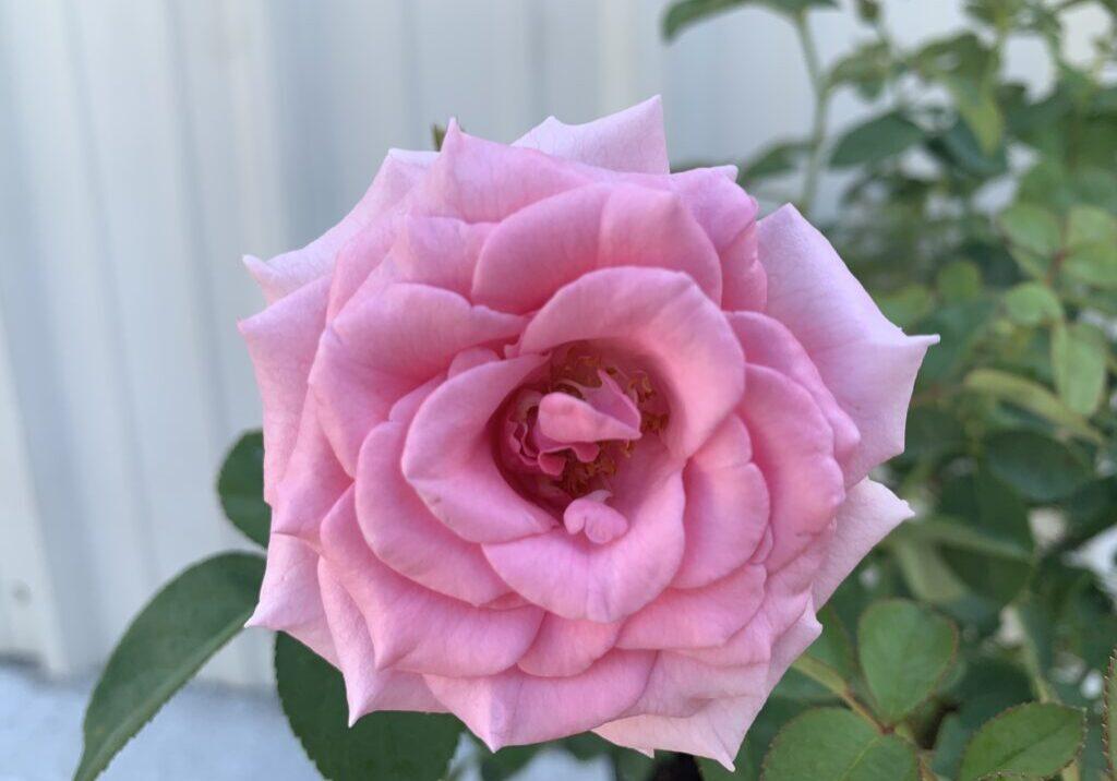 Rosa_PNKTR_Brindabella Pink Princess-flower